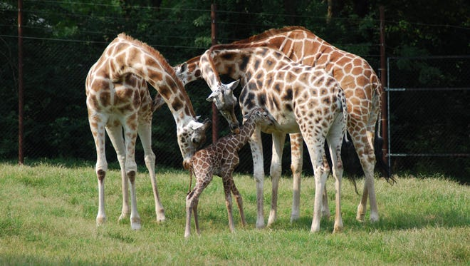 Clementine, a baby giraffe, stands with her family at Dickerson Park Zoo. News-Leader readers helped name Clementine in an online contest.