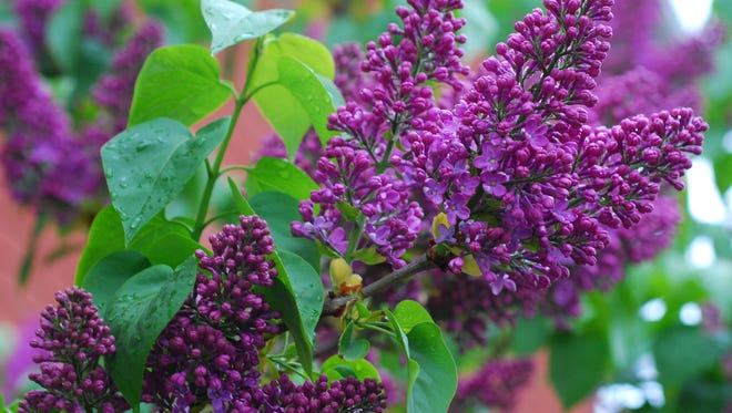 If your lilac needs to be pruned, do so in early summer. Pruning later in the year removes next year's flowers.