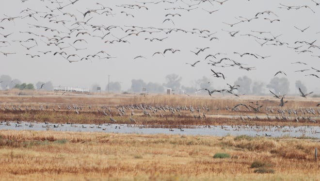 Thousands of Sandhill Cranes migrate from Alaska starting November and use the Pixley Wildlife Refuge to settle during the winter months.