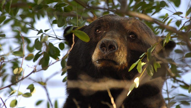 In this 2007 file photo, a black bear rests in a tree on West Fifth Street in Reno. While 2007 was the biggest year for bear-human interaction in the Truckee Meadows, 2014 is on pace to be the second-busiest.