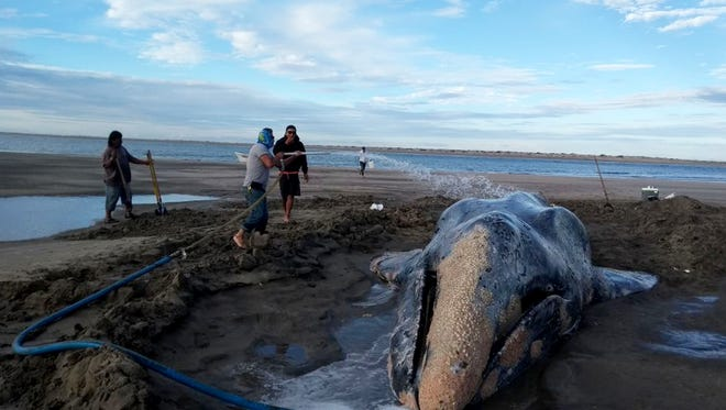 In this photo released by Mexico's Federal Environmental Protection Agency and in February 2018, people spray water on a gray whale during efforts to return it to sea in Baja California Sur state, Mexico.