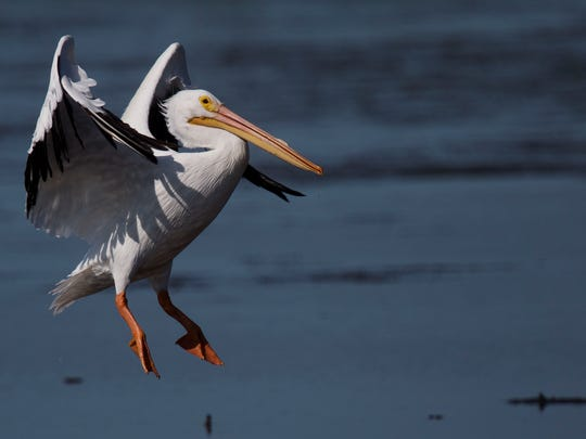 American white pelican (Pelecanus erythrorhynchos):  Length: 62 inches.  Wingspan: 8 feet.  Look for: Orange bill and pouch, short orange legs and webbed feet.