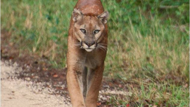 A Florida panther walks along a rural roadway.