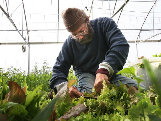 """Fred Young, of Harvestland Farm, Anderson, Indiana, works in the lettuce greenhouse, picking Spring Mix greens. The farm has a dual purpose of growing and distributing organic produce and employing mentally disabled individuals. It has a popular a farm store open year-round and community supported agriculture (customers buy """"shares"""" of produce, with distribution in Indpls., Carmel, Noblesville)."""