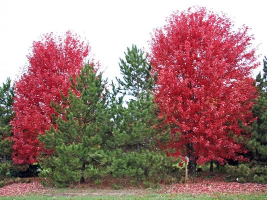 636250225336709813-Autumn-Blaze-Maples-have-brilliant-red-fall-foliage.jpg
