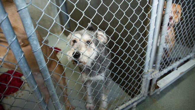A mixed-breed dog looks out from its kennel at the Animal Service Center of the Mesilla Valley. Thursday, Sept. 21, 2017.