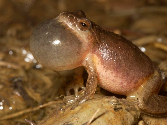 The northern spring peeper inflates its vocal sac.