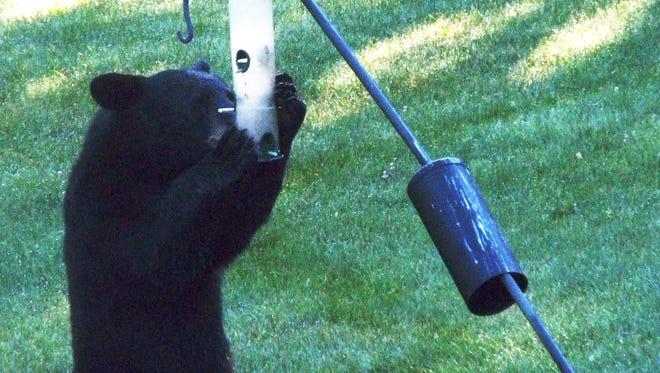 Photo provided John Vence of Big Flats caught this black bear raiding his bird feeder July 11.