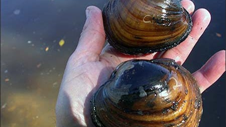 Higgins Eye Pearlymussel  clams, which will be relocated for an I-74 bridge project between Bettendorf, Iowa, and Moline, Ill., on the Mississippi River