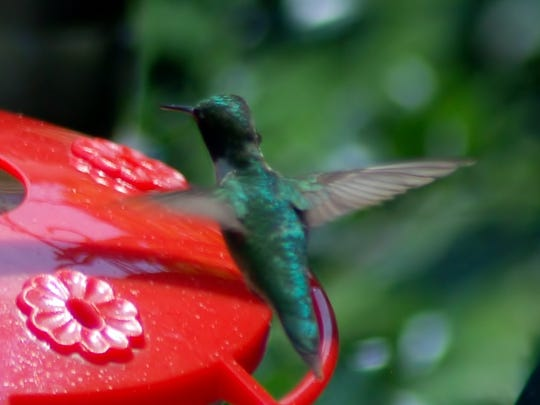 The most welcome visitor to the author's backyard is the ruby-throated hummingbird.