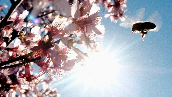 A bee buzzes towards a flowering magnolia tree in Knoxville, Tennessee on Friday, February 17, 2017.