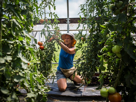 Wendy Carpenter harvests tomatoes in a greenhouse at