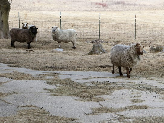Peanut, a blind sheep, makes her way across the barnyard
