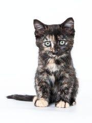 Jill, 2-month-old female domestic short hair kitten. No. 99482.