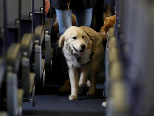A service dog strolls through the isle inside a United Airlines plane April 1, 2017, at Newark Liberty International Airport while taking part in a training exercise, in Newark, N.J.