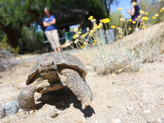 Merve, a desert tortoise, treks around during Earth Day celebrations at The Living Desert in Palm Desert, Sunday, April 22, 2018. The Living Desert is once again offering Summer ZooCamp for youth, with six weekly sessions starting June 18.