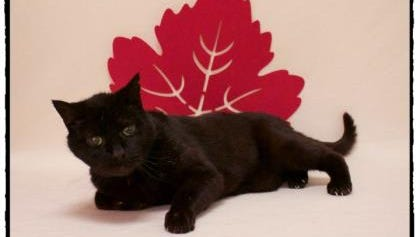 Static is one of the cats hoping to benefit from a donation to cover adoption fees for senior cats at Willamette Humane Society this month.