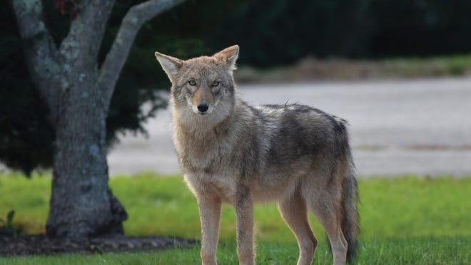 Coyotes arrived on Aquidneck Island in the 1990s and are now well-established.