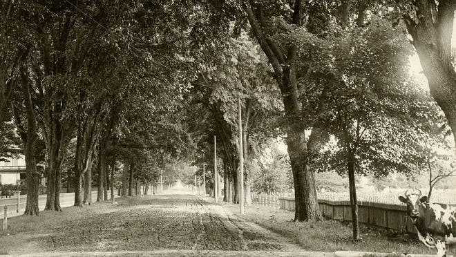 A cow roams around Elm Ave. in the City of Monroe in the 1800s when dairy farms dominated the landscape of Monroe County.