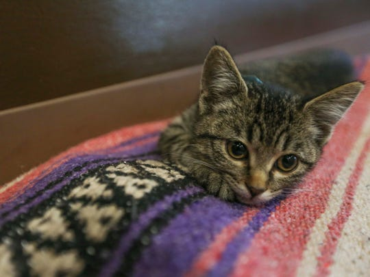 A kitten relaxes during Cats N Mats Yoga at the Animal Rescue League of Iowa, on Sunday, June 5, 2016. Cats N Mats is a yoga session that incorporates kittens which are up for adoption at the ARL.