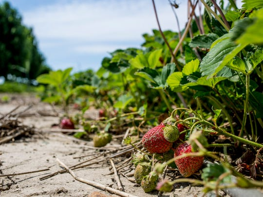 Strawberries are seen growing Thursday, June 9, 2016 at Marvin's Garden, 5385 Burtch Road in Jeddo. Marvin's Garden will be open for u-pick strawberries Monday, June 13.