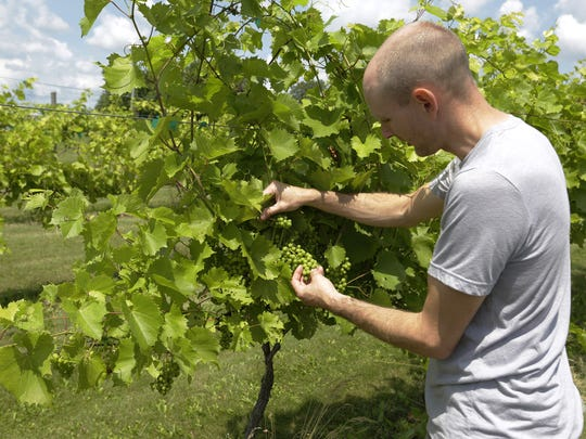 Ryan Prellwitz looks over the grapes that will be harvested