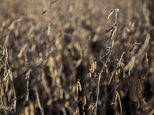 Soybeans ready to harvest on a farm outside of Maxwell, Iowa, in October 2017. Iowa soybean farmers face up to $520 million in loses from the U.S.'s trade wars with China, Canada and others.