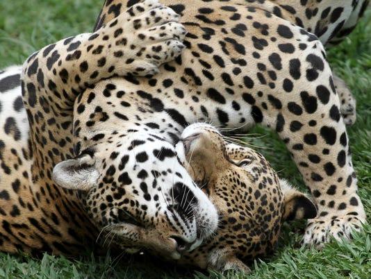 AP BRAZIL CLONING WILD ANIMALS I BRA