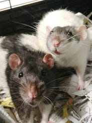 Milo and Theo the rats