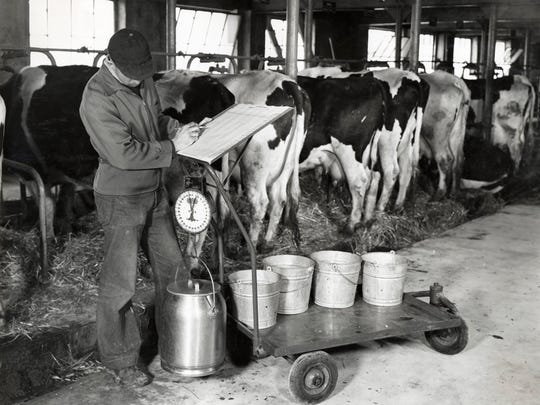 In 1947, a man weighs milk inside a barn.