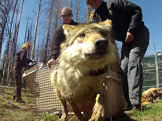 wolf release