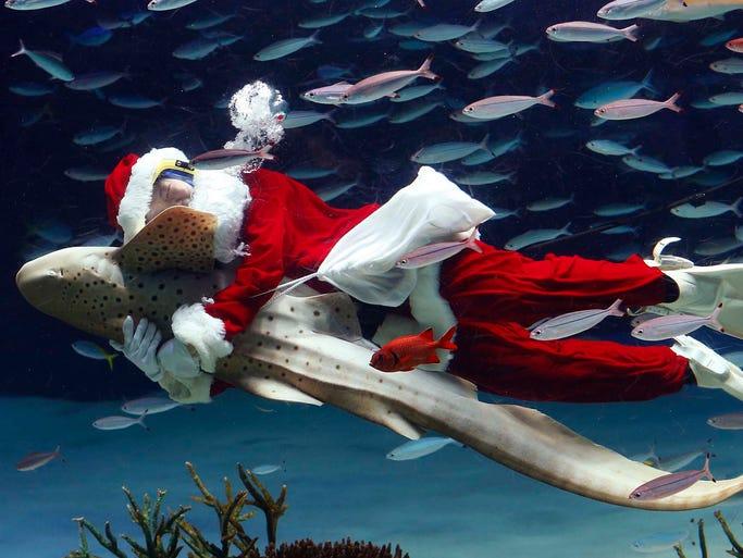 A worker dressed as Santa Claus hugs a Zebra shark at the Sunshine International Aquarium on Dec. 11 in Tokyo.