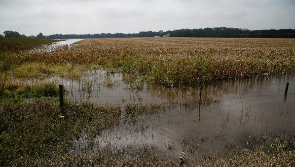 A cornfield sits flooded up to the top of the stalks
