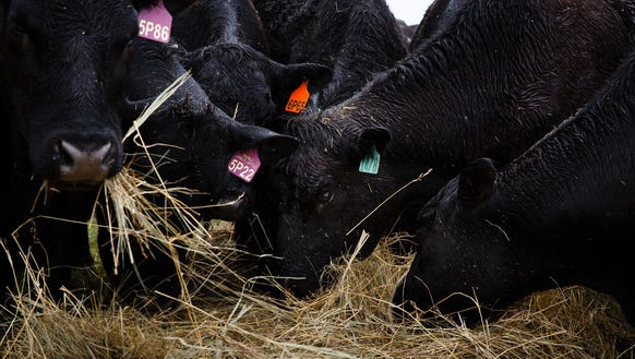 Cattle graze on hay on the land of Ron and Jeanne Crumly