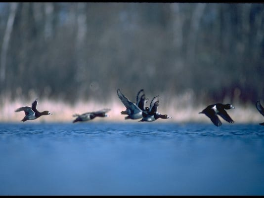 636602594841268597-Scaup-flying---DU.JPG