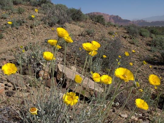 Desert marigolds bloom alongside the Black Brush trail in the Santa Clara River Reserve, shown in this April 2 photo.