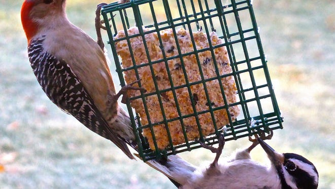 North Jersey woodpeckers, like this Closter red-bellied and this hairy,love suet.