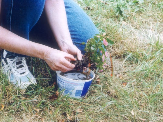 Transplanting garden plants to pots for in the house, 2 of 5