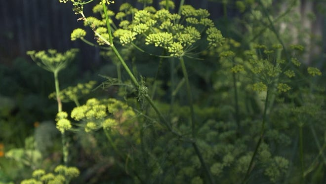 When dill is young and succulent, it's a favorite of the larva (caterpillar) of the black swallowtail butterfly.