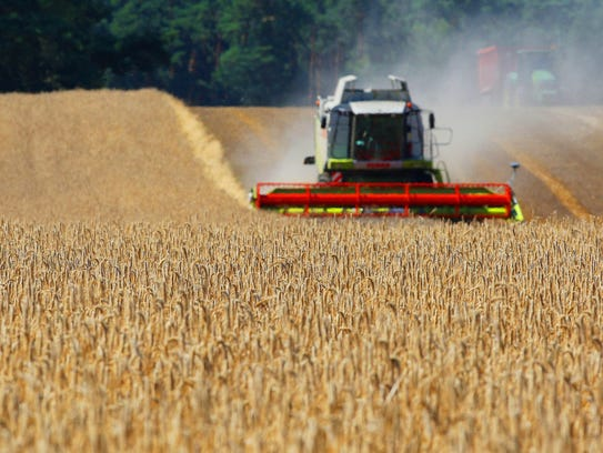 A combine harvester cuts rye in a field.
