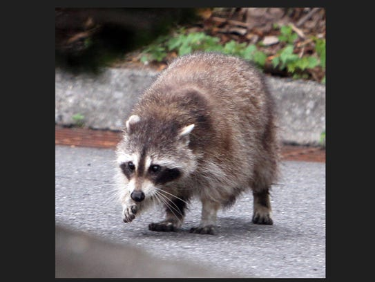 #Rocky #raccoon #Thornwood #Micky Ds #food search #lohud