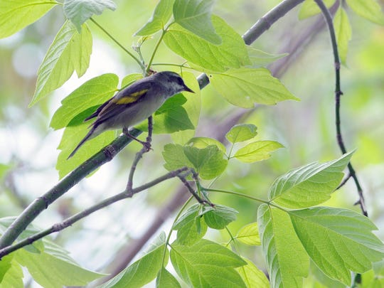 A rare female golden-winged warbler makes an appearance at Magee Marsh.