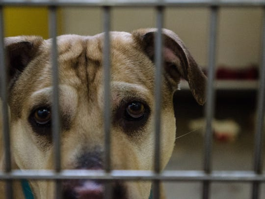 A dog at HELP the Animals pet shelter, 2101 W. Main St., waits to be adopted on Friday, May 5, 2017.