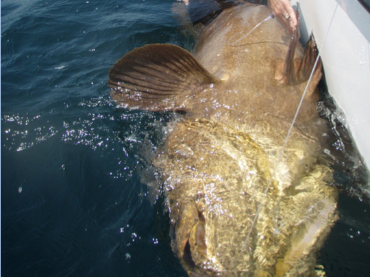 A goliath grouper is caught on hook and line brought