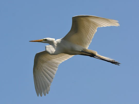 A great egret flies past students from Devers Elementary