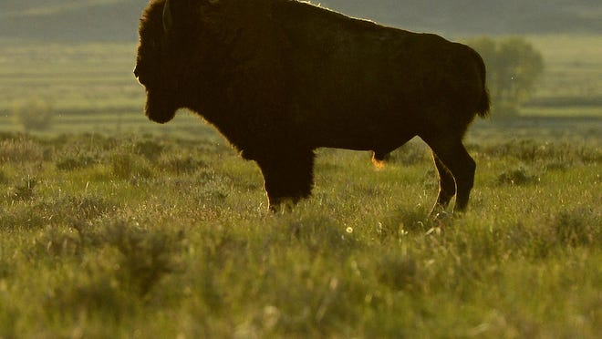American Prairie Reserve bison in 2015.