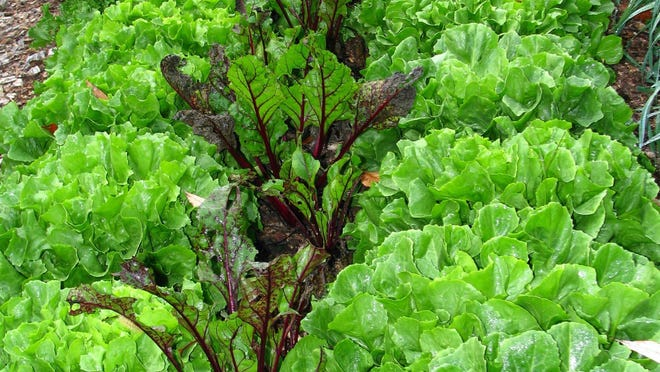 This photo shows a bed with endive and beets growing together for autumn harvest in New Paltz, N.Y. Close planting of vegetables, with sufficient watering and fertility, not only gives bigger harvests but also shades out weeds.