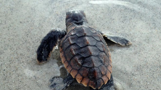 Sea turtle hatchlings usually make their way out of the nest during the night.