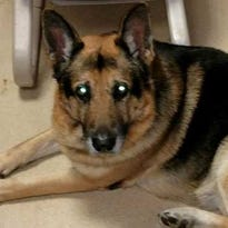 Bela is being cared for at the PAWS of Dearborn County Humane Center.