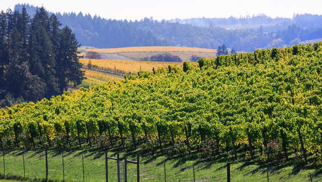 Pinot gris vines at the WillaKenzie Estate in Yamhill. Bernard Lacruote, the former owner of WillaKenzie, planted his first grapes in 1992.